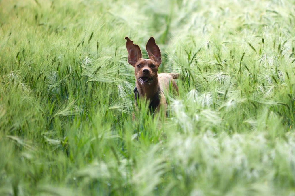 Hierkomen recall hond