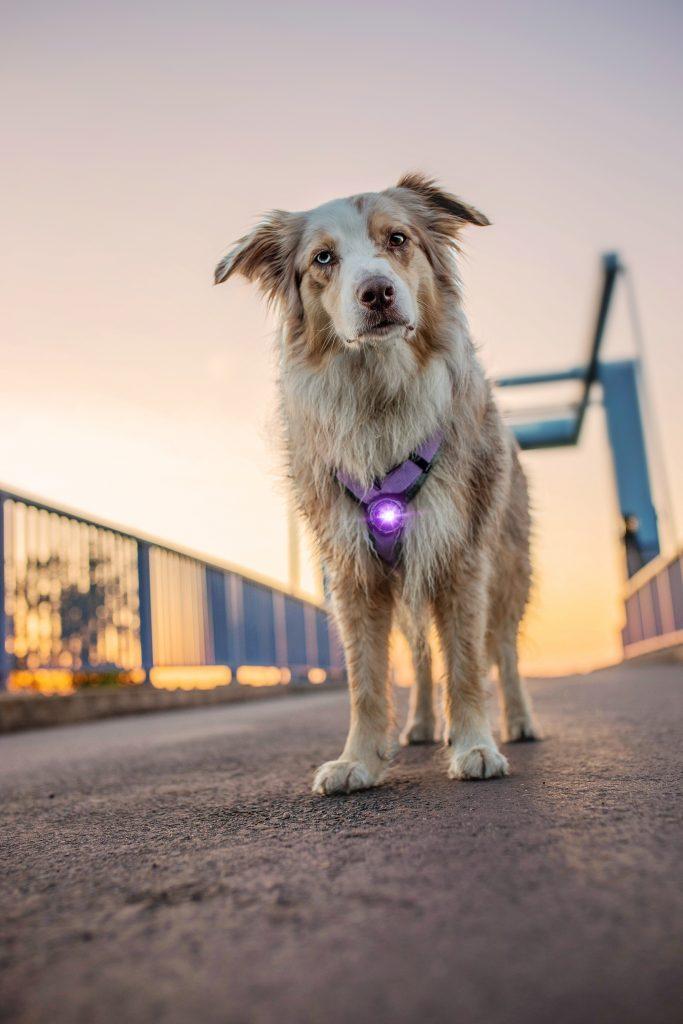 Orbiloc Dog Dual Paars - hondenlampje